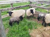 Quality Suffolk Breeding Ewes x3
